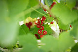 fresh organic redcurrant on bush