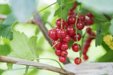 fresh organic redcurrant on bush