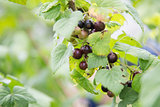 fresh organic blackcurrant on bush