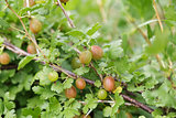 organic gooseberries on the bush