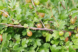 organic gooseberries on the bush