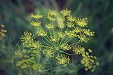 dill umbrella flower close up