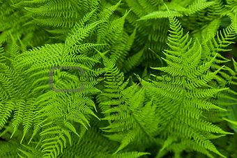 Fresh fern