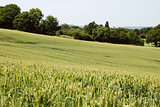 Field of green wheat in Kent countryside