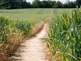 Footpath leading through a field of wheat