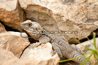 Close-up lizard on a rock