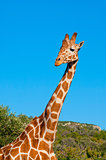 Giraffe against blue sky