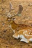 Fallow deer in forest - Male