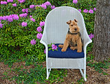 Welsh Terrier in rhododendron garden