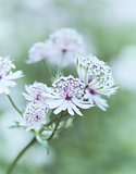 Astrantia Major (great masterwort)