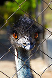 Young emu looking curious