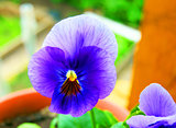 Pansy in year garden