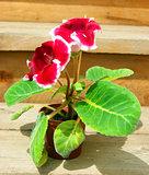 Flower gloxinia