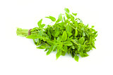 Bunch of fresh Basil herb /  isolated