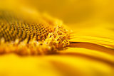 Super Macro Yellow Flower Background / Sunflower