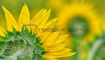 back side of sun flower