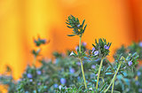 fresh green thyme herbs  isolated on a orange background