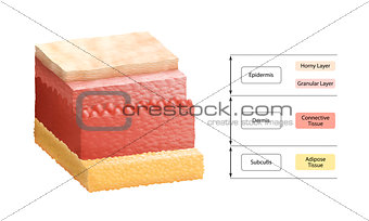 Layers Of Human Skin