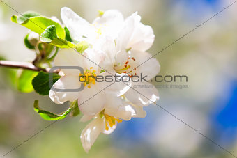 Apple flowers in spring