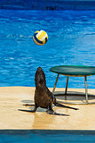 Fur seal plays with ball