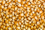 Abstract background of corn grains