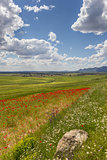 Poppies in Andalusia