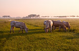 few cows on pasture at sunrise