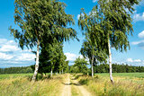 rural path with birch trees next to meadows