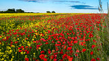 Red poppies in yellow rape seed field