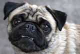 Pug Showing Teeth