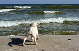 yellow labrador puppy looking at the sea