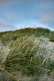 Grass on a white sand dunes beach in Denmark
