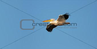 Great White Pelican flying against blue sky