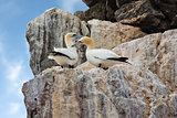 Gannets on cliffs