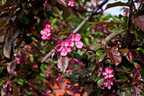 Pink flowers of an Apple tree.