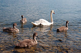 Swans with Baby Swans in Lake Geneva