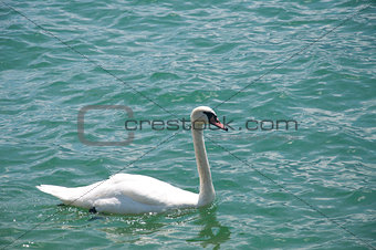 A Beautiful Swan
