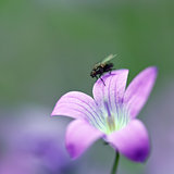 Fly on violet flower
