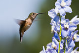 humming bird feeding