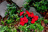 Begonia Flowers in Rock Garden