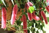 Chenille Caterpillar Plant