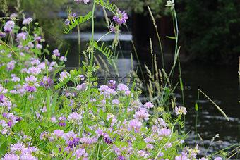 Coronilla varia Wildflowers