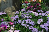 Dianthus Flower Bed