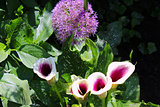 Globe thistle and Calla Lilies