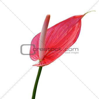 Flamingo Flower isolated on white background