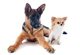 puppy german shepherd and chihuahua