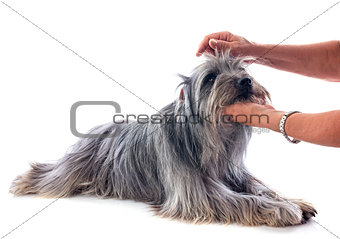 grooming of Pyrenean sheepdog