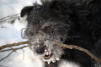 Black dog in the winter