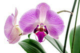 Orchid flower closeup