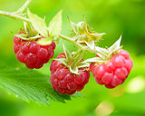 Close-up Image of Red Ripe Raspberries in the Garden